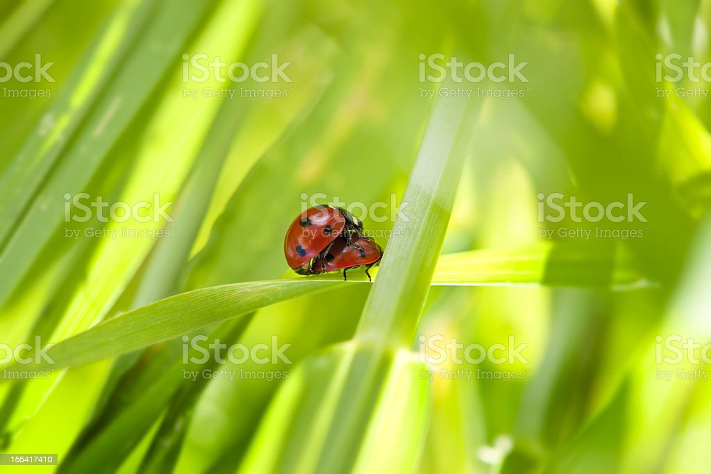 Red Ladybug Couple Mating in Green Grass stock photo