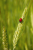 Red ladybug in the cereals - on the ear of triticale, green background