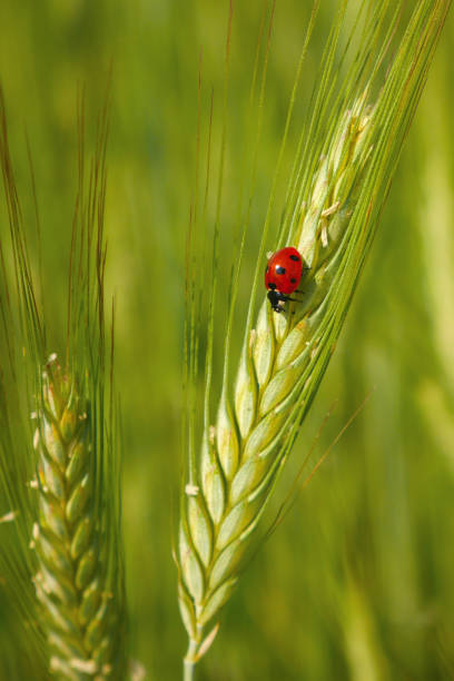 Red ladybug in the cereals, green background stock photo