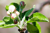 Red ladybug on a green leaf of an apple tree. Summer nature backgrounds