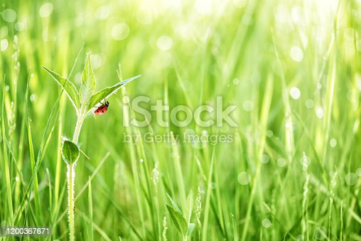 Red ladybug on a leaf of green grass in the early morning on a meadow covered with dew drops in the rays of the sun