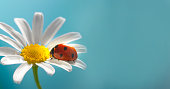 red ladybug on camomile flower, ladybird creeps on stem of plant in spring in garden in summer