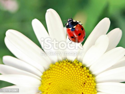 Red ladybug on chamomile flower in the garden.