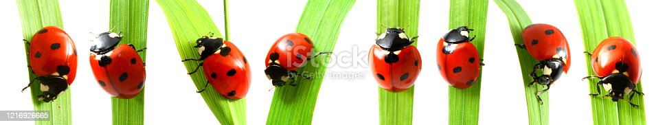red ladybug on green grass isolated on white background set of pictures