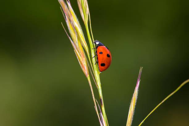 Red ladybug on green grass stock photo