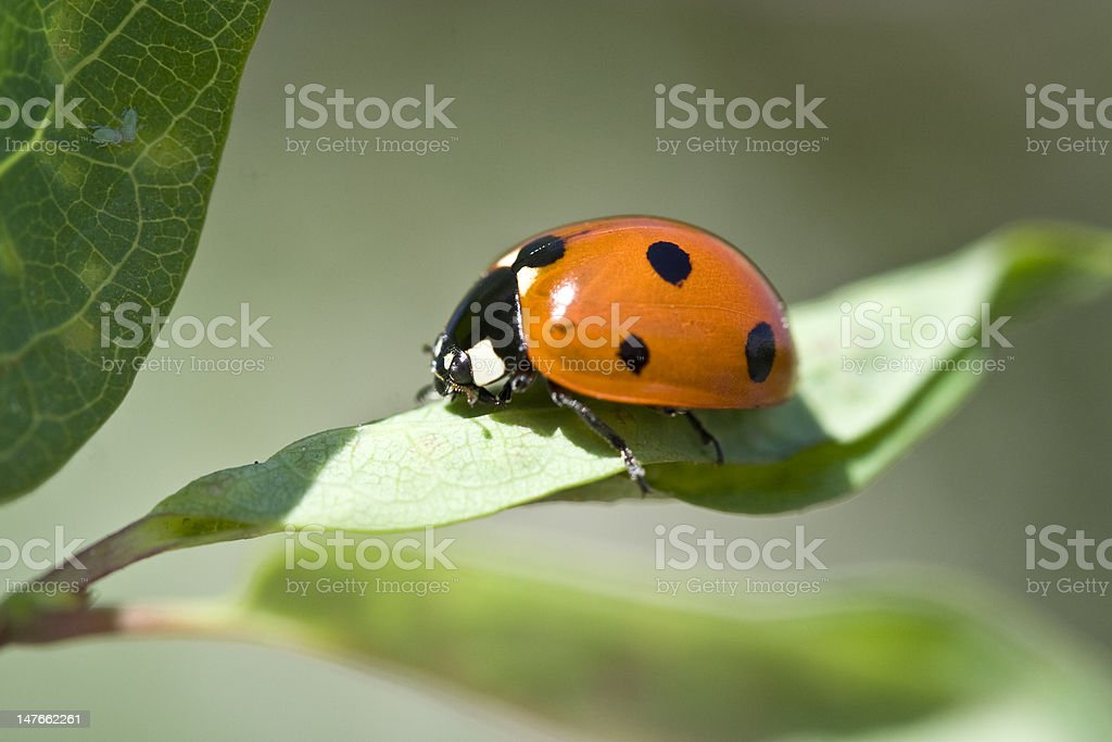 red ladybug on green leaf stock photo