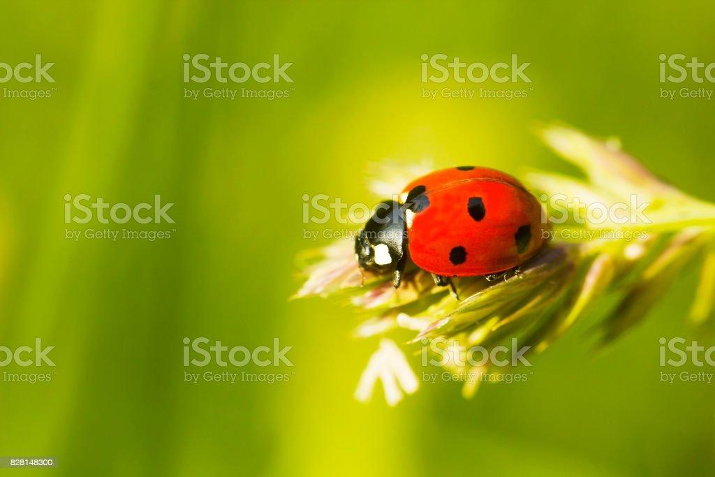 Red Ladybug on plant, blurred background stock photo