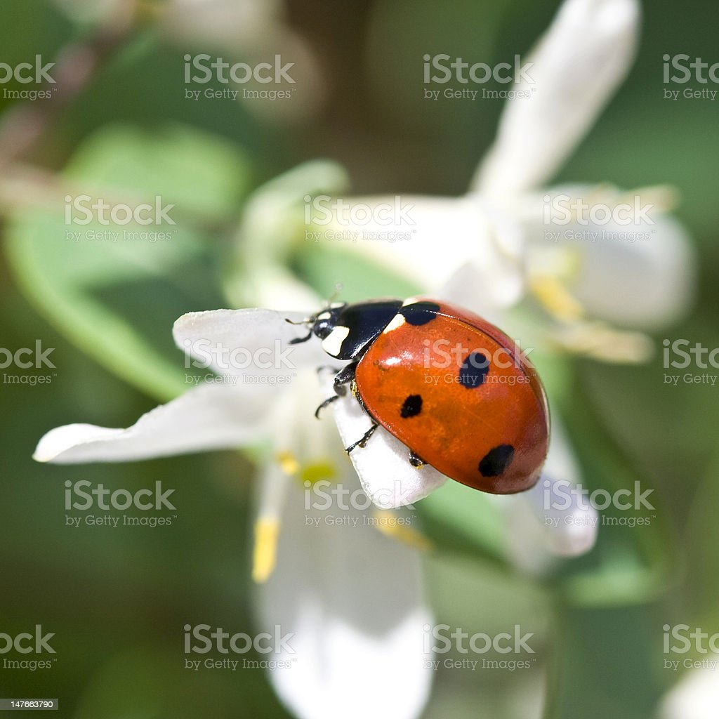 red ladybug on white flower stock photo