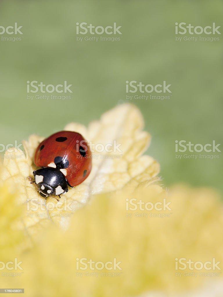 Red Ladybug on Yellow Leaf stock photo