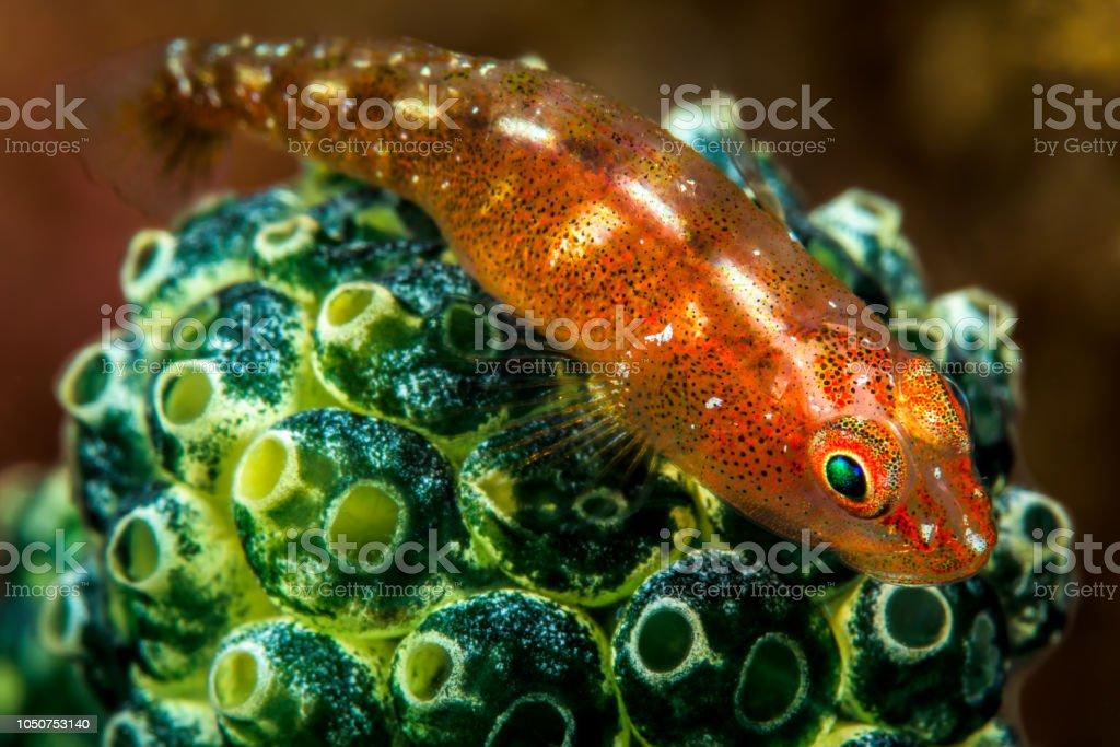 red largemouth triplefin fish stock photo