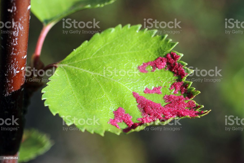 Red larvae on a leaf royalty-free stock photo