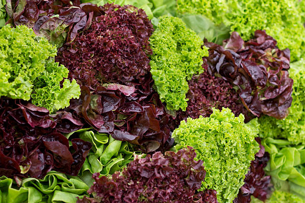 Red Leaf and Green Leaf Lettuce Arrangement A wall arrangement of some fresh green lettuce mixed with some red lettuce which has a purple hue to it. butterhead lettuce stock pictures, royalty-free photos & images