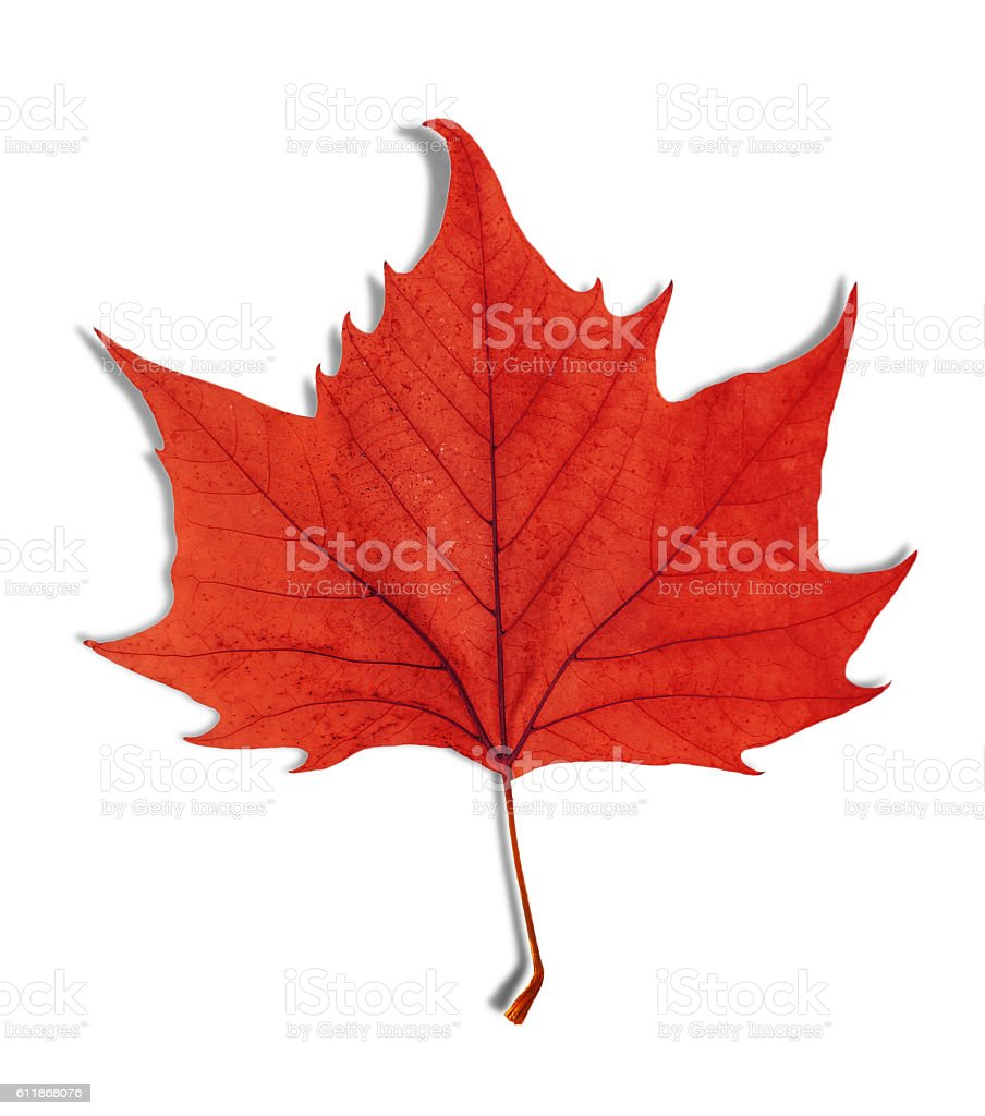 Red leaf as an autumn symbol isolated on white stock photo
