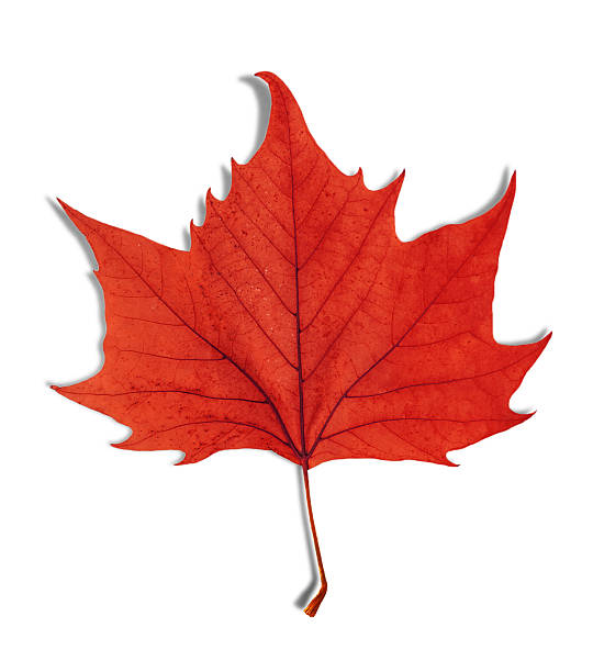 red leaf as an autumn symbol isolated on white - feuillage automnal photos et images de collection