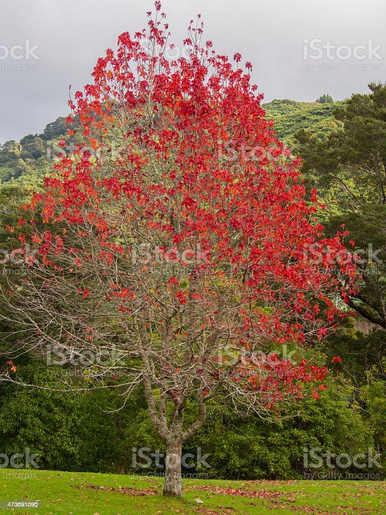 automne arbre feuille rouge – photos et plus d'images de 2015   istock