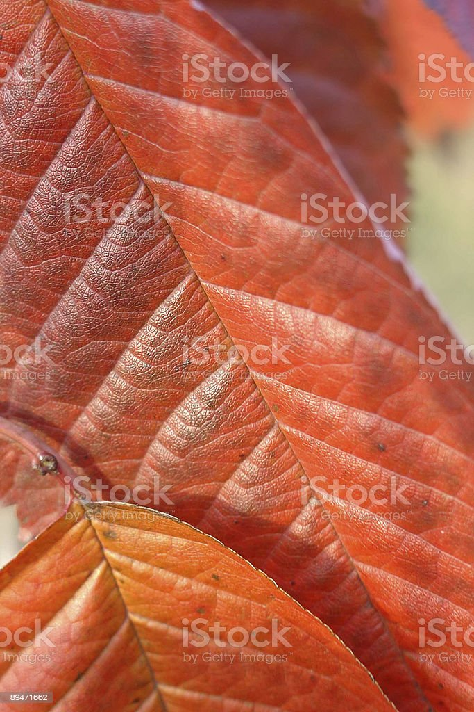 Red Leaf Background royalty-free stock photo