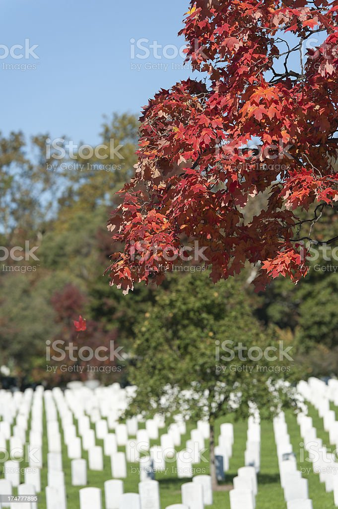 red leaf falling out of tree at Arlington National Cemetery royalty-free stock photo