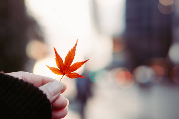 Red leaf in woman's hand with city background stock photo