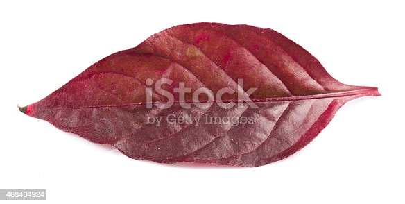 istock Red leaf isolated on white background 468404924