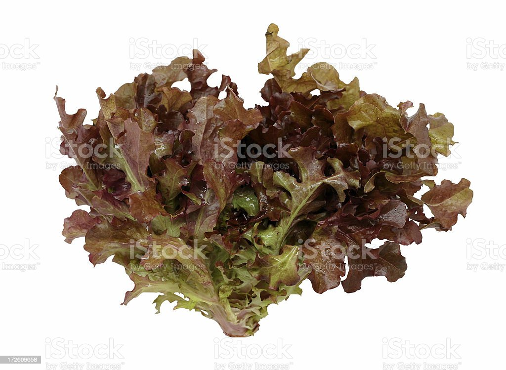 red leaf lettuce stock photo