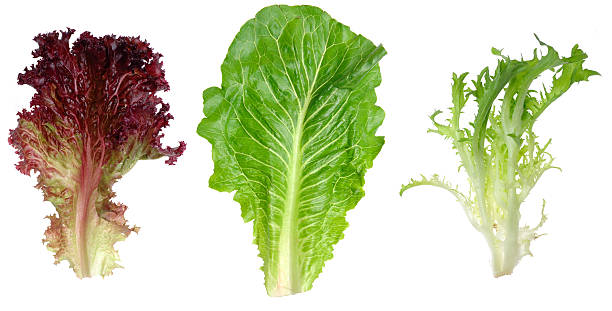 red leaf lettuce, romaine and endive - lettuce stock photos and pictures
