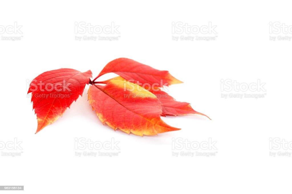 feuille rouge des raisins sauvages isolés - Photo