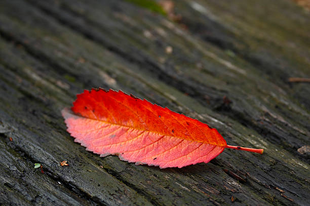 Red leaf on old wood stock photo