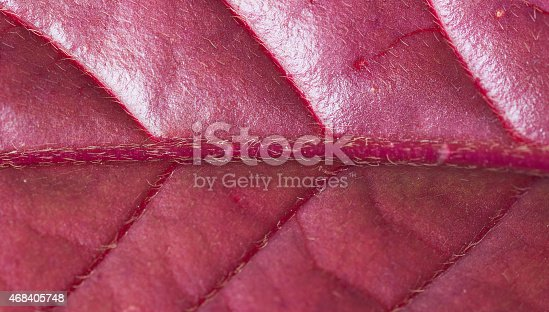 istock Red leaf 468405748