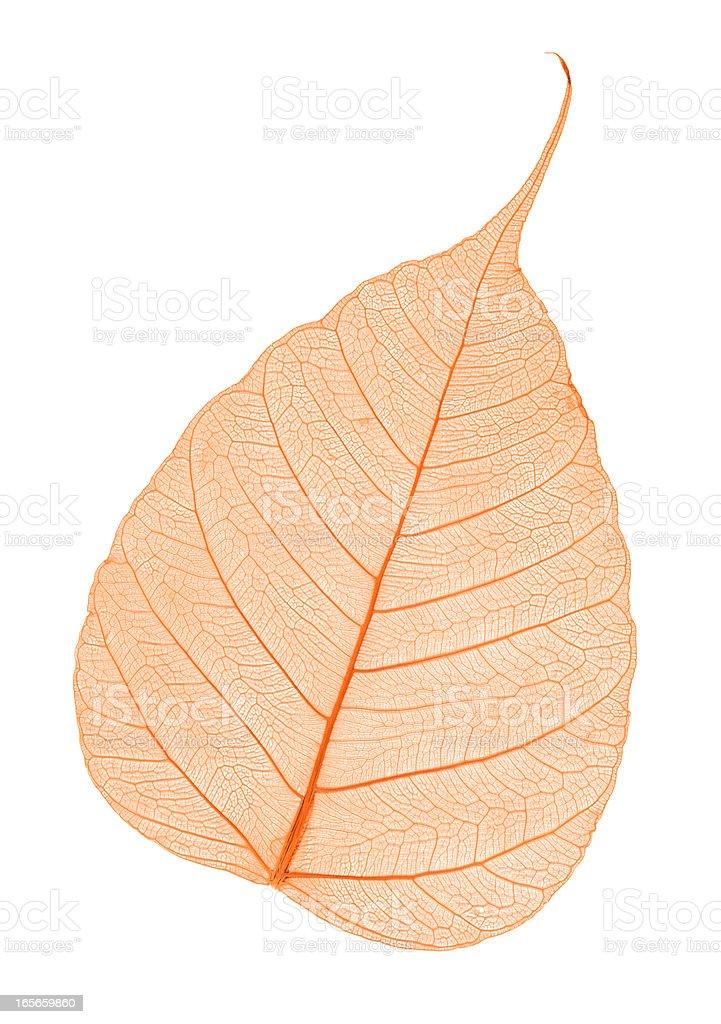 Red leaf skeleton royalty-free stock photo