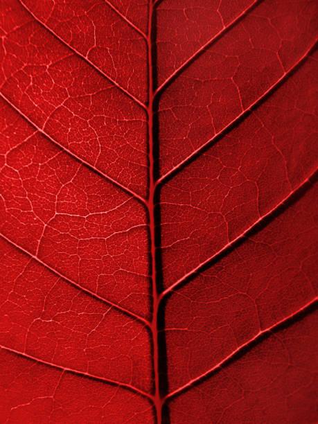 texture de Feuille rouge - Photo