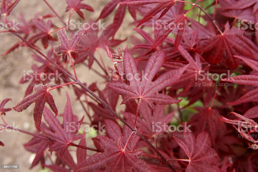 Red leafs royalty-free stock photo