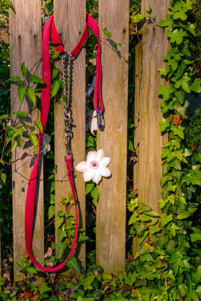 Red Leash with White Clematis stock photo