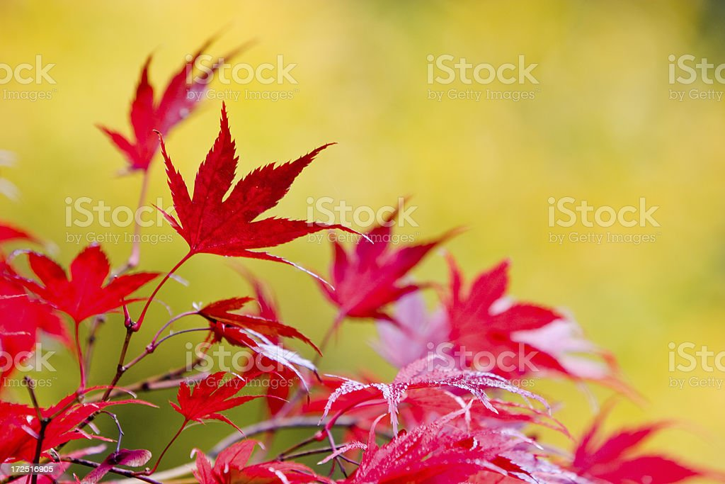 Red Leaves against a green background royalty-free stock photo