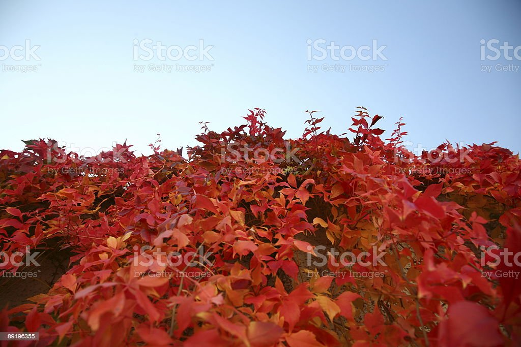 Red leaves and blue sky royalty free stockfoto