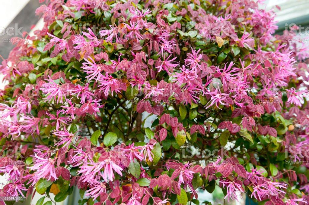 Red leaves and pink flowers of Loropetalum Chinese Fringe shrub plant during blossom season stock photo