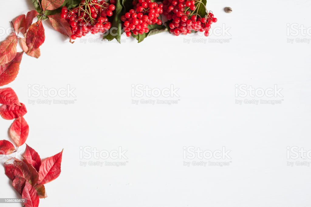 Red leaves and ripe berries on white background records stock photo
