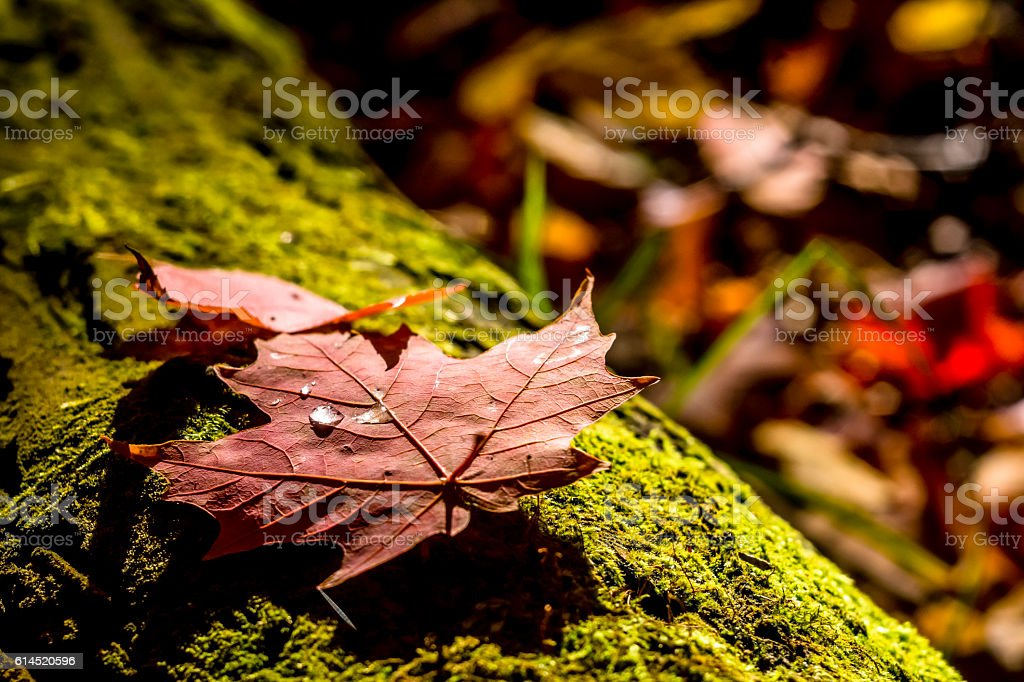 Feuilles rouge, mousse verte - Photo
