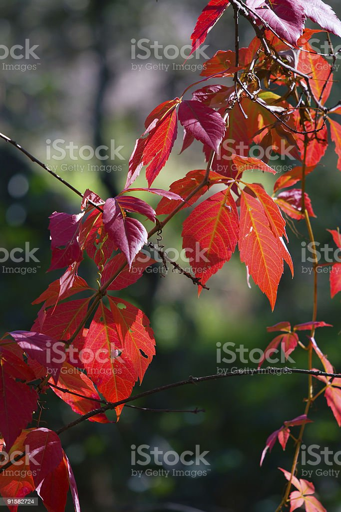 Red leaves in a forest stock photo