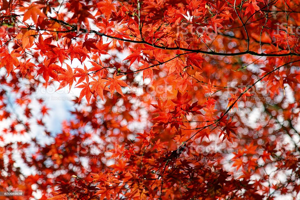 red leaves in a maple tree in autumn foto royalty-free