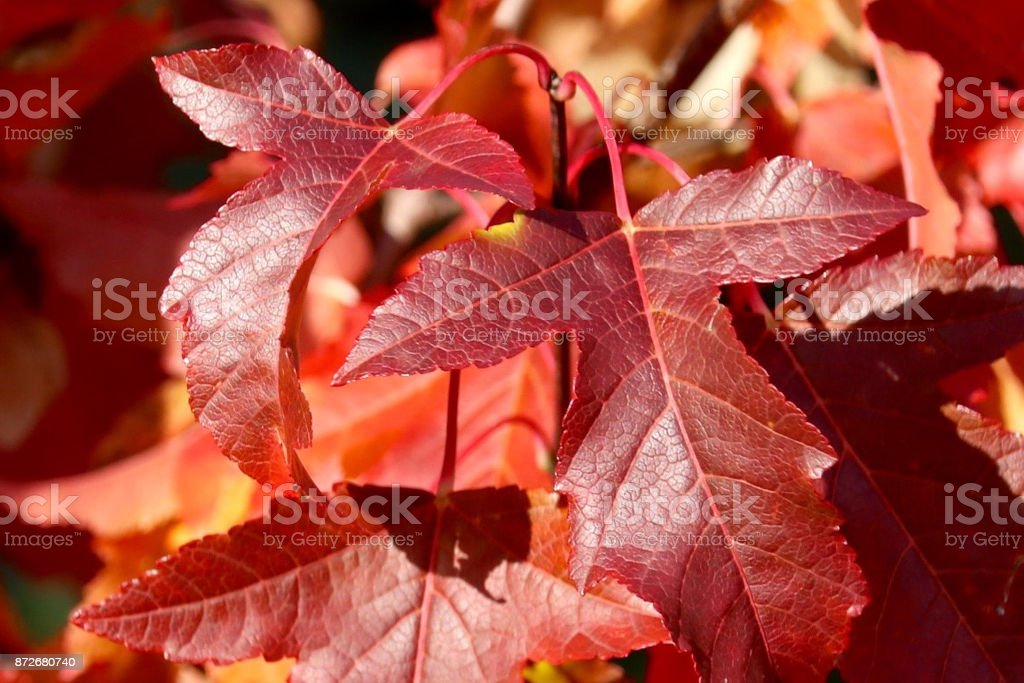 Red Leaves in Autumn stock photo