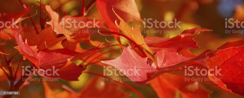 Red Leaves in Fall stock photo