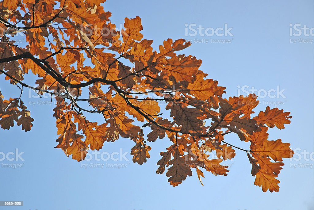 Red leaves. Oak tree. royalty-free stock photo