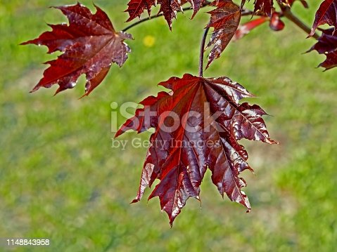 tree with the Latin name Acer platanoides 'Crimson Sentry' grows in Chelyabinsk in the Park