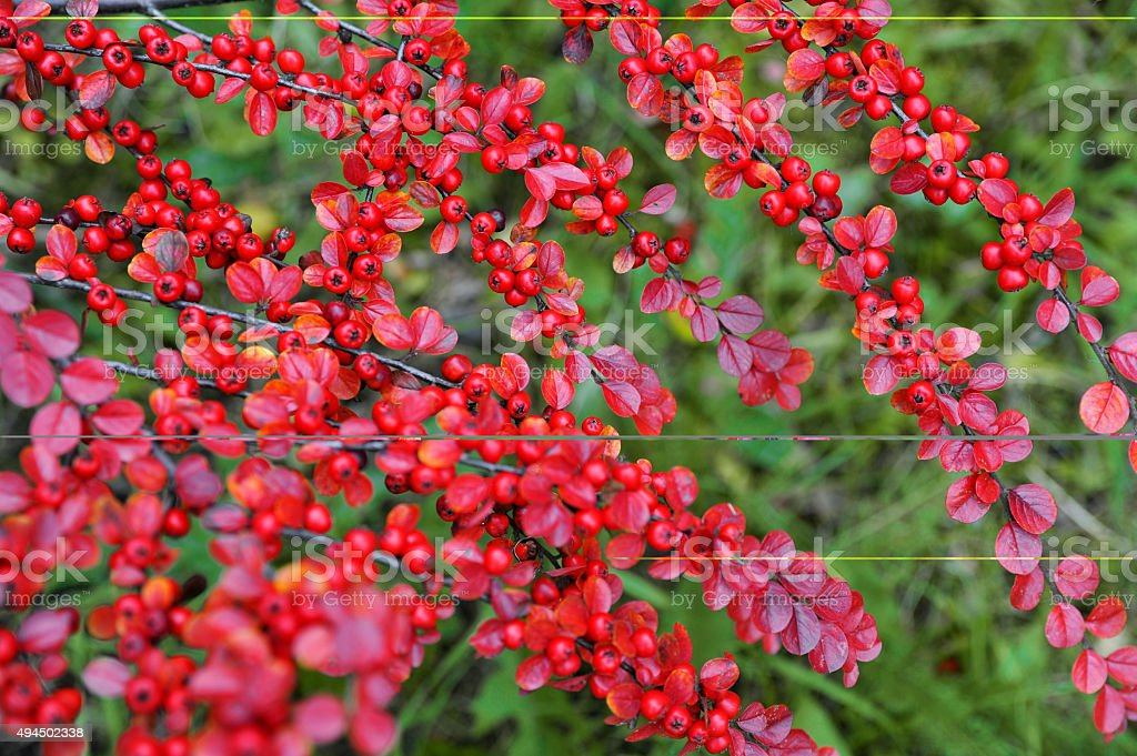 Red leaves of Bearberry with berries in autumn stock photo