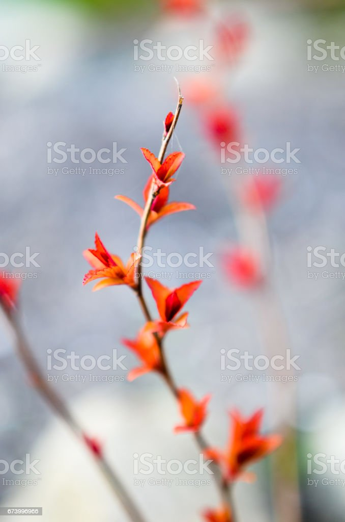 Red leaves on a bush brunch royalty-free stock photo