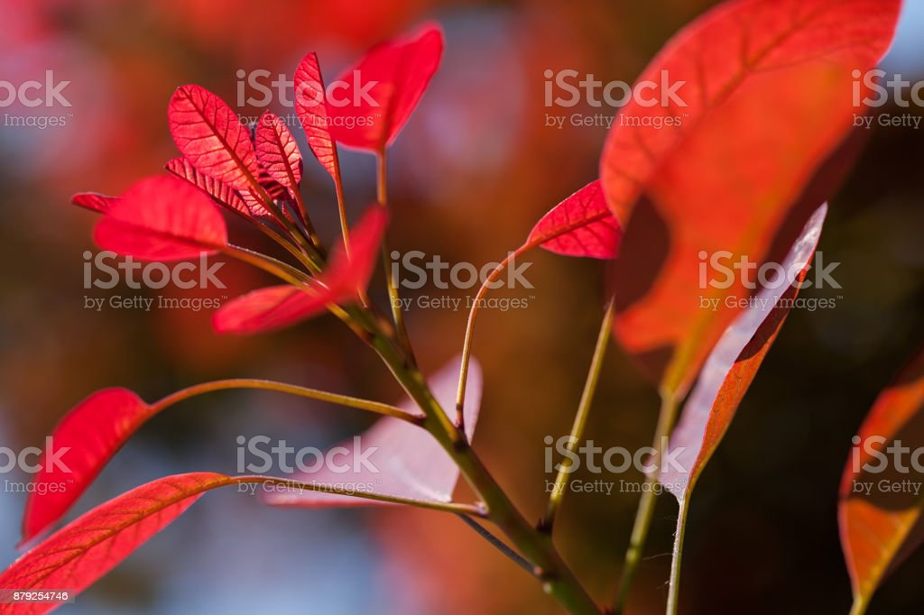 red leaves on a sunny day stock photo