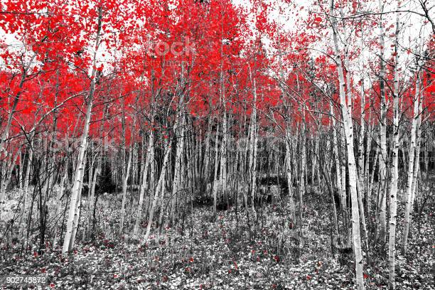 Photo of Red leaves on fall trees in a black and white forest