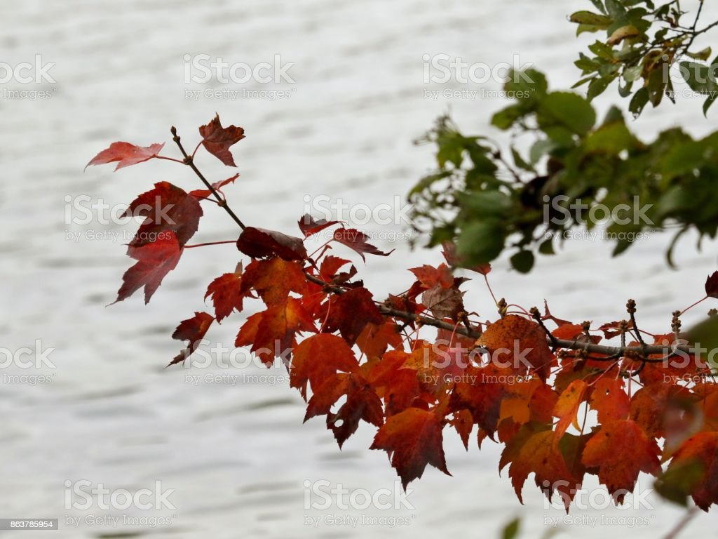 Red leaves over water stock photo