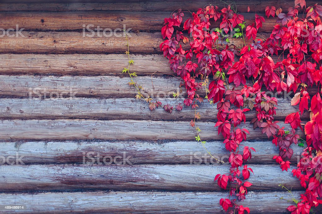 red leaves parthenocissus on a wooden background stock photo