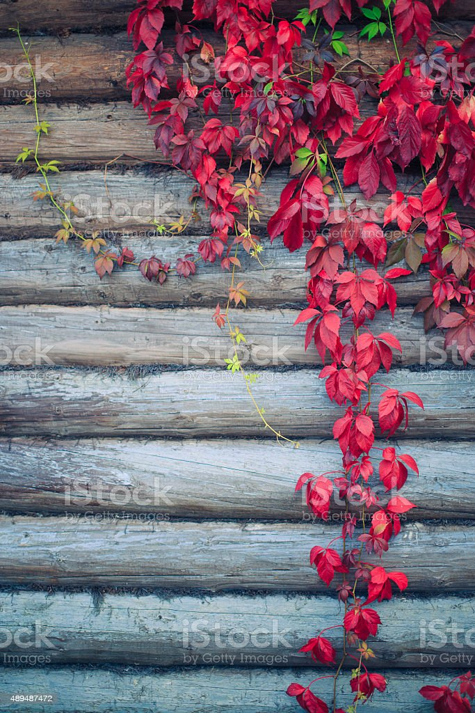 red leaves parthenocissus stock photo